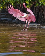 Roseate Spoonbill (c) 2017 Walter Hackenjos, all rights reserved.