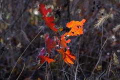 Wild & Red (Gene Ellison) Tags: red leaves tree fallcolor