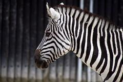 Zebrastreifen (Jasardpu) Tags: zebra jungtier baby zoo