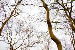 Tallowtrees 烏桕 (MelindaChan ^..^) Tags: tallowtrees 烏桕 guilin china 桂林 chanmelmel mel melinda melidnachan tree plant branch art leaf autumn