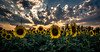 summer on you... (Harry Pammer) Tags: summer sommer austria loweraustria niederösterreich hennersdorf sonnenblumen sunflower clouds field feld wolken sun sonne strahlen österreich