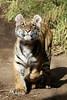 Moka (greekgal.esm) Tags: bengaltiger tiger cub babyanimal bigcat cat feline animal mammal carnivore moka sandiegozoosafaripark sandiegozoo safaripark escondido sandiegozooglobal sdzglobal sdzsafaripark sony rx10m3 rx10iii
