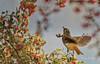 Up, Up, and Away (Rick Derevan) Tags: atascadero california bird thrush hermitthrush berry toyon catharusguttatus wings flight flying