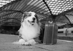 .We can see the NEW YEAR. (....Natalie....) Tags: hund henry colognecentralstation kölnhbf köln cologne suitcase koffer dog