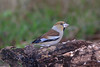 Hawfinch (Georgiegirl2015) Tags: hawfinch birds wildlife nature finches finch gloucestershire parkend dellalack december forestofdean forest yew sawbill canon countryside ef300mm