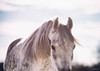 Caden (Jen MacNeill) Tags: horse horses mood equine arabian grey winter