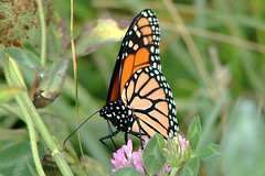 Monarch Butterfly 492 - Danaus Plexippus (Chrisser) Tags: insects insect butterflies butterfly monarch danausplexippus nature ontario canada canoneosrebelt6i canonef75300mmf456iiiusmlens nymphalidae