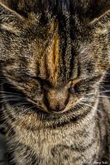 Lola, the cat - Lola, el gato   Madrid (RobertoHerreroT) Tags: gato cat animal galaxys8 samsunggalaxys8 robertoherreortardon galaxy s8