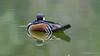 Hooded Merganser (m) (Bob Gunderson) Tags: birds california divingducks ducks goldengatepark hoodedmerganser lophodytescucullatus mallardlake mergansers northerncalifornia sanfrancisco