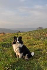 Sonnenkind (Uli He - Fotofee) Tags: ulrike ulrikehe uli ulihe ulrikehergert hergert nikon nikond90 fotofee januar winter sonnentag meinweg klaumarbach marbach sheltie shetlandsheepdog fleur hund