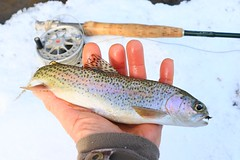 rainbow trout at Trout Run IA 854A5511 (lreis_naturalist) Tags: rainbow trout fly fishing catch release winter snow run stream winneshiek county iowa larry reis