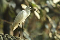 Break for Mr. Egret (Nanimuroor) Tags: canon 80d 200mmf28l birdsofmuroor birds muroor lightroom egret