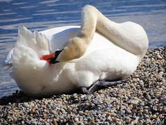 Le contorsionniste (jean-daniel david) Tags: oiseau oiseaudeau lac lacléman cygne blanc bleu eau nature gravier plage contorsionniste