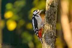 xxD40_1746 (Eyas Awad) Tags: eyasawad nikond4 sigma500f45 nikond800 nikonafs300mmf4 bird birds birdwatching wildlife nature picchiorossomaggiore dendrocoposmajor