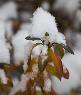 cotton ball bush