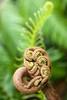 fern gully (primemundo) Tags: fern frond fiddleheads unrolling dof brown green