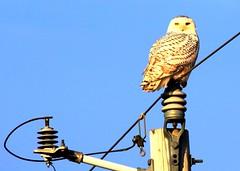 snowy owl female near Lime Springs IA 854A1758 (lreis_naturalist) Tags: snowy owl female lime springs howard county larry reis