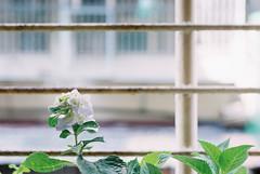 自家的繡球花 (Hsien hui Tsai) Tags: taiwan taipei film filmphotography nikon nikonem em kodak kodak200 kodakcolorplus 135mm flower hana hydrangea 繡球花 紫陽花 陽台 2017