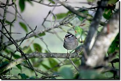 WHITE - CROWEND SPARROW (jawadn_99) Tags: explore bird colored interrestingness fauna white crowened sparrow west immigrant medium size