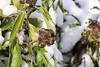 CKuchem-3622 (christine_kuchem) Tags: bauerngarten beeren biogarten blüten efeu eis frost garten grün jahreszeit kletterpflanze kälte nahrung naturgarten pflanze samen samenstände sortenvielfalt vielfalt vogelfutterpflanze vögel wildpflanze winter winterfutter alt gefroren immergrün kalt naturnah natürlich reif schnee wichtig wild