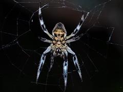 Garden Orb Weaver (MikeC4503) Tags: spider garden orb weaver macro olympus