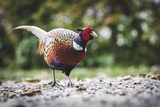 Alpha Pheasant