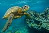 turtle10Nov19-17 (divindk) Tags: cheloniamydas hawaii hawaiianislands honu maui underwater diverdoug endangeredspecies greenseaturtle marine ocean reef sea seaturtle turtle underwaterphotography