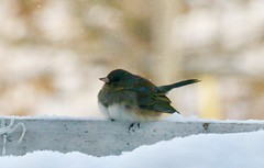 Backyard birds (REGOR NOTPUL) Tags: glenburnie ontario birds feeders cardinal female hairy woodpecker darkeyed junco
