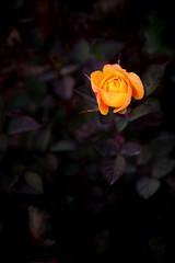 Roses 玫瑰 (MelindaChan ^..^) Tags: roses 玫瑰 flower plant yellow petal channmelmel mel melinda melindachan