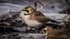 Horned lark-Skinners Lane-1-5-18-3 (hudsonvalleybirder) Tags: hornedlark