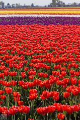 Washington_Tulips_Flower_Vibrant (Zero State Reflex) Tags: washington tulips flower color vibrant pnw photography canon 5dmark3