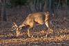 Trailing a doe (Lindell Dillon) Tags: buck deer whitetail wildlife nature oklahoma light sidelight lindelldillon wildoklahoma