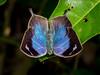 Borboleta-moruus (Memphis moruus) (Eden Fontes) Tags: memphismoruus borboletasemariposas borboletamoruus riodejaneiro rj pedapedrabranca trilhapontalgrumari invertebrados butterfliesandmoths