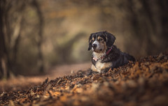 Beautiful Miss Daisy (Paul`s dog photography) Tags: beautifulrescuedog woodsforest ef135mmf2lusm canon5dmkiv wideaperturedof depthoffield
