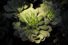 Verol (Antonio Margalef) Tags: verol aeonium percarneum canarias flores vegetales endemismo