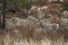 Mule Deer (Jon David Nelson) Tags: muledeer odocoileushemionus wildlife centraloregon sagebrushsteppe sagebrushsea highdesert migration migratory habitat habitatconnectivity