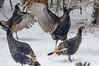 Turkeys (treehuggerdcg) Tags: utata:project=tw609 utata:description=hide utata thursdaywalk dilodec2017 turkeys snow winter
