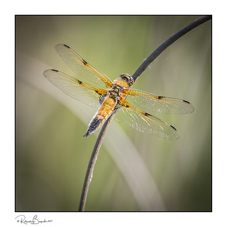 Four-Spot Chaser basking in the Spring sunshine