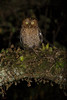 Bare-shanked Screech Owl (Megascops clarkii) perched on a branch (Chris Jimenez Nature Photo) Tags: buho night endemic owl rapaz chrisjimenez frontview bareshankedscreechowl highland birdofprey costarica megascopsclarkii dark eyes yellow sangerardodedota bird oneanimal raptor leastconcern fulllength