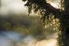 Lichen in Gold (Nyllet) Tags: meyeroptikgörlitzprimoplan5819 lichen sunlight backlit