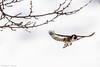 _JHS9540 (Bribes de terre) Tags: faune oiseau hiver chardonneret