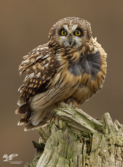 Wind Blown (Short-Eared Owl) (The Owl Man) Tags: shortear boundarybay roosting hunting