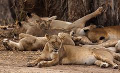 Holiday Mood :-) (AnyMotion) Tags: lion löwe pantheraleo family familie familypicture familienbild cat katze tree baum 2015 anymotion tarangirenationalpark tanzania tansania africa afrika travel reisen animal animals tiere nature natur wildlife 7d2 canoneos7dmarkii ngc npc