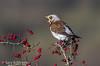 Fieldfare Brecon Beacons (Ponty Birder) Tags: g b wheeler birds birdsinflight wildlife wales gloucester uk animals landscape planes pontybirder macro insects garywheeler