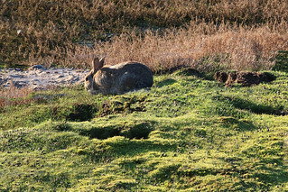 Bunny in Rabbit proofed Rye Harbour Nature Reserve 1