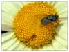 Die Goldfliege (Heinze Detlef) Tags: fliege goldfliege flügel blume blüte nektar insekt makro macro