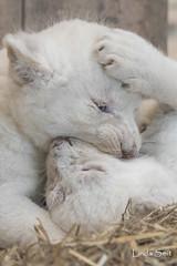 DSC_1014-1 (Linda Smit Wildlife Impressions) Tags: african white lion lioness lioncubs cubs wildlife endangered cats bigcats nature animal carnivore cecil photography nikon d750 big cat mammal zoo damnéville amnéville