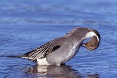 Posture (Chatham Sound) Tags: canada 124 britishcolumbia vancouverisland esquimaltlagoon water ducks birds nikond5 nikkor400mmf28mmlens