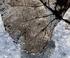 leaf detail (marianna_a.) Tags: macro leaf detail fine skeleton structure flora aspen wet water frost frozen veins mariannaarmata p1700145