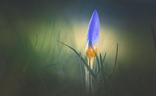 Crocus - Spring in winter